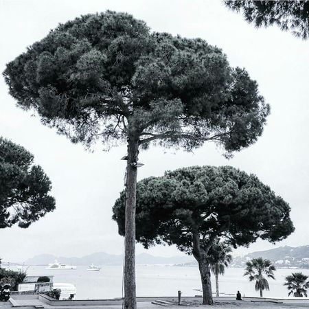 Silver Lining | Just wanna stay in the Riviera Sun . Trees And Sky Treescape Natureknowsbest Frenchriviera Summer Escape