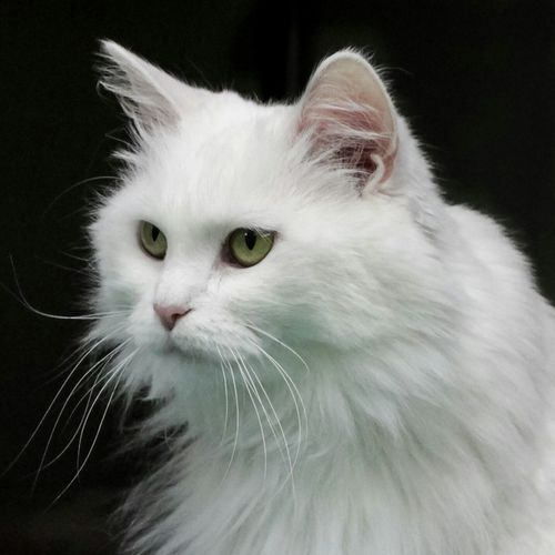 Miss Kitty Kat, recently adopted from the SPCA of Anne Arundel County. Cats Of EyeEm Cat Cats Cat Eyes Adopt A Shelter Pet Sheltercats Shelterpets Catsofinstagram