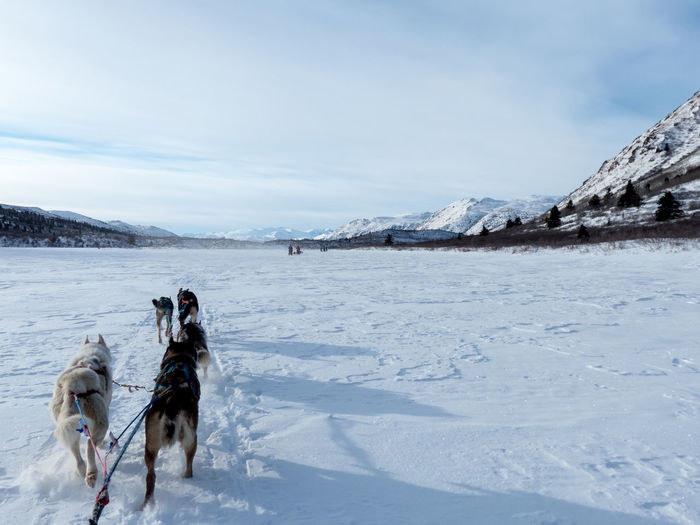 Rear View Of Dogs Pulling Sled Through Snow