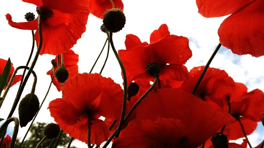 Himmel Pflanzen Kontrast Poppy Poppy Flowers Stiel Natur Von Unten Red Flower Rote Blume Red Nature Mohnblume Mohnblüte Mohn Garden Flowers Heaven Wolken