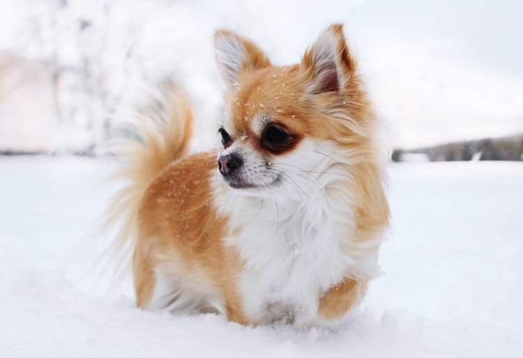 Rainy the chihuahua in the snow