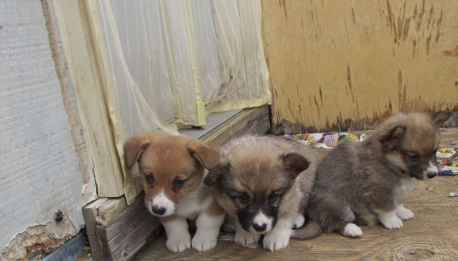 Corgi puppies hanging out on wooden porch