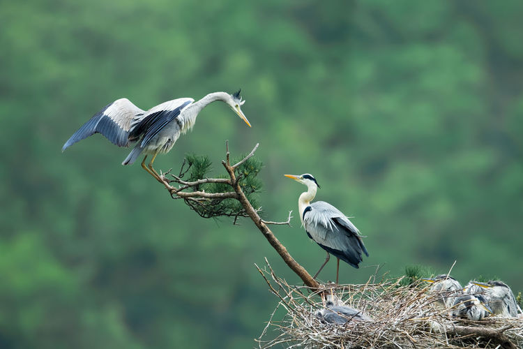 Great blue herons perching on nest