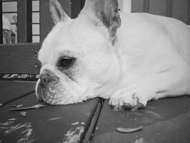Frenchie Frenchbulldog Dog❤ DogLove A Dogs Life Dogs Of EyeEm