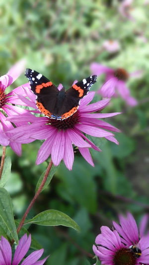 Flower Butterfly - Insect Focus On Foreground Outdoors Beauty In Nature Purple