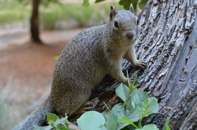 Zion National Park Animal Animal Themes Animal Wildlife Animals In The Wild Day Focus On Foreground Herbivorous Land Mammal Nature No People One Animal Outdoors Plant Rodent Squirrel Tree Tree Trunk Trunk Vertebrate Wood - Material