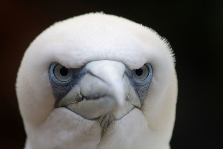 Grim looking northern gannet. Animal Eye Animal Head  Animal Themes Animals In The Wild Beak Bird Close-up Front View Morus Bassanus No People Northern Gannet One Animal Representation Selective Focus Wildlife