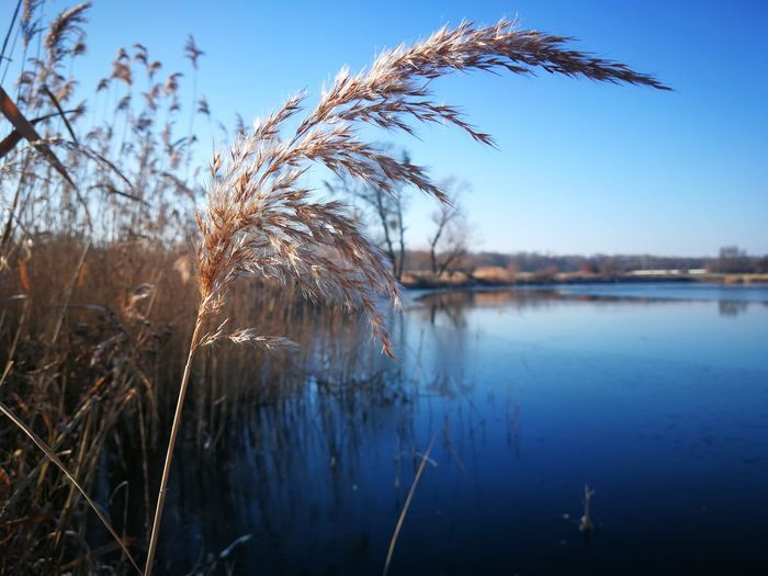 Winter Cold Temperature Blue Sky Blue Sea Clear Water Frozen Schilf Reed Reed Grass Contrast Blauer Himmel Blauer Himmel Und Sonnenschein Water Sky Nature Lake No People Plant Blue Beauty In Nature Focus On Foreground Clear Sky Close-up Scenics - Nature Landscape