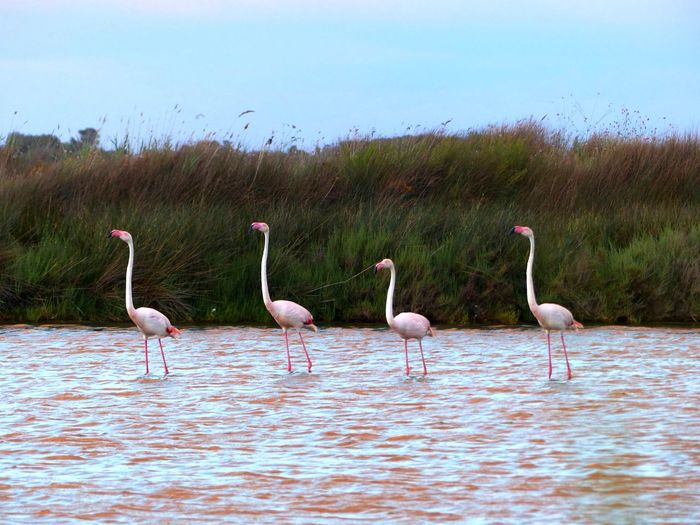 Animal Themes Animal Wildlife Bird Flamant Rose Flamingo Marais Marais Salants Marsh Nature Outdoors Salt Marsh Wading Water