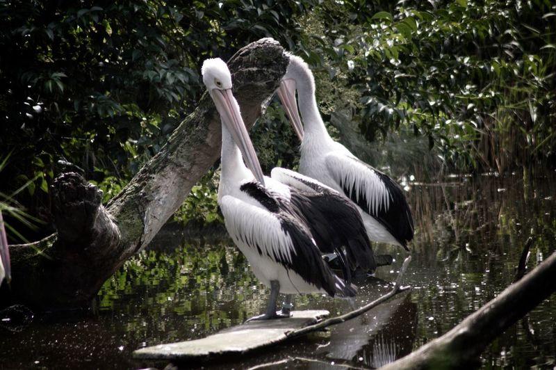 Pelicans On Wood Against Lake
