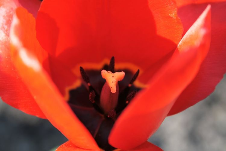 Beauty In Nature Blackheart Close-up Flower Flowering Plant Heartoftheflower Hiddentreasure Holland Nature Outdoors Red Springtime Tulip
