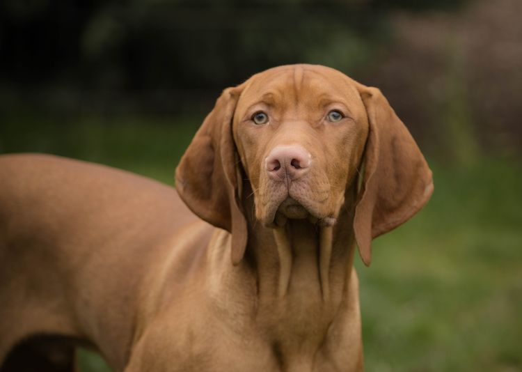 Jack Vizsla One Animal Pets Canine Domestic Dog Mammal Domestic Animals Portrait Vertebrate Looking At Camera Brown Focus On Foreground No People Day Animal Body Part Close-up Nature Snout Animal Eye