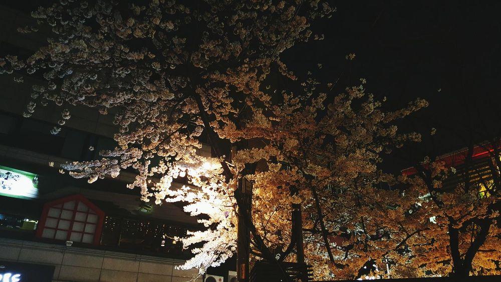 여기저기 벚꽃이 활짝 피었습니다 Cherry Blossom