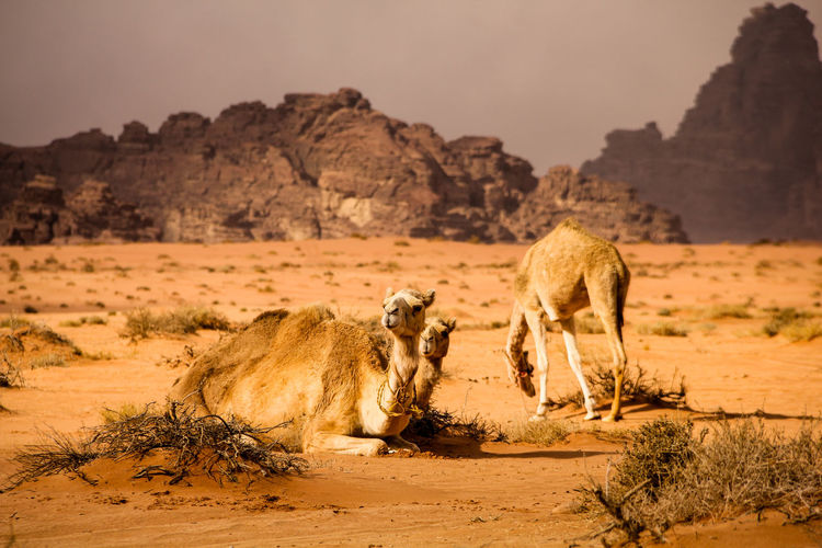 Camels On Sand At Desert Against Sky