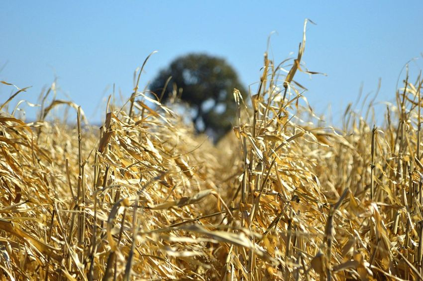 Blurred in the distance Outdoors Focus On Foreground Blurred Background Tree Eye Level View Sunshine Shadow Cornfield Clear Sky Rural Scene Agriculture Close-up Crop  Corn - Crop