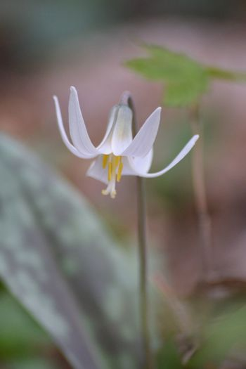 White trout lily spring flowers Nature Woods Macro