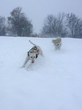 Poodel Poodles  Animal Themes Cold Temperature Day Dog Domestic Animals Field Mammal Nature No People Outdoors Pets Playing Dogs Podenco Andaluz Snow Tree Weather White Color Winter