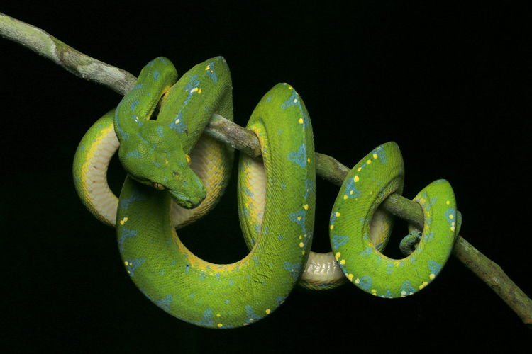 Close-up of green python on branch against black background
