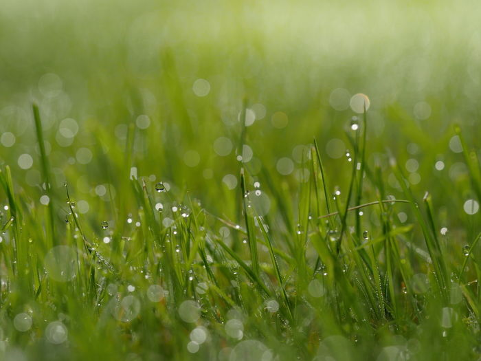Close-Up Of Wet Grass Growing On Grassy Field