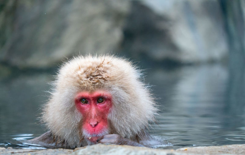 Japanese Macaque Animal Themes Animal Monkey Primate Mammal Animals In The Wild Animal Wildlife Water One Animal Vertebrate Focus On Foreground Cold Temperature Day Hot Spring Hair No People Nature Outdoors Animal Head