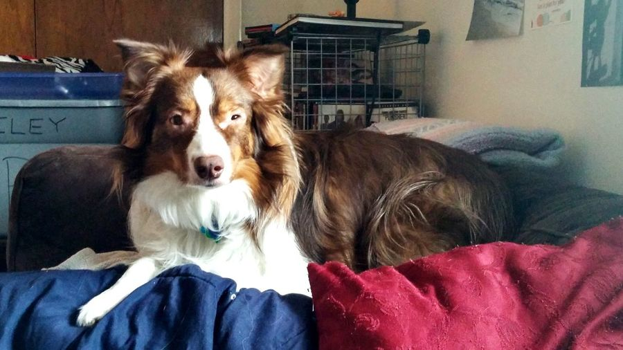 Ginger laying on top of a bunch of plankets on the couch. #Aussie
