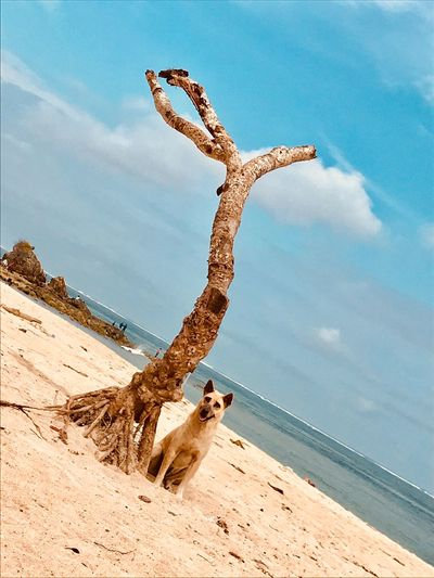 DINGO Land Sky Animal Themes Nature Sand Sea Sunlight Animals In The Wild One Animal Cloud - Sky Day Water Animal Wildlife Vertebrate No People Beauty In Nature Outdoors First Eyeem Photo