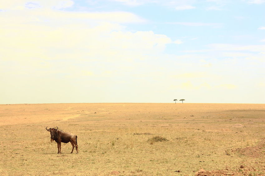 Massai Mara NP, Kenya Animal In The Wild Animal Themes Endlesness Herbivorous Horizon Over Land Landscape Massai Mara National Parks Kenya See It Different Tranquility Wide Landscapes Wideness Wildebeast Wildlife Photography