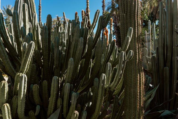 Morocco Marrakesh Marrakech Majorelle Garden Majorelle Plant Growth Cactus Succulent Plant No People Beauty In Nature Green Color Spiked Saguaro Cactus Uncultivated Sunlight Outdoors Nature Tranquility Day Pattern Travel Destinations Tourist Destination