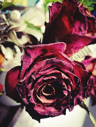 🌹💫 Bordeaux Color Eternity Feelings Close-up Withered  Withered Rose Withered Beauty Zoom Centered In Front Love Emotion Elégance Beautiful Copy Space Roses Flower Head Flower Pedal Leaf Peony  Petal Rose - Flower Red Springtime Rose Petals Plant Life Botany Attractive Relaxing Moments