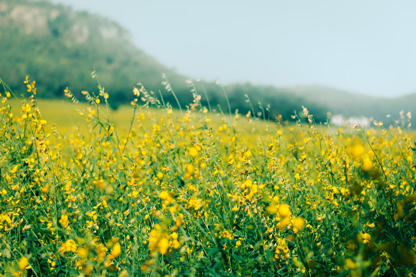 Landscape of golden flower with mountain and blue sky, beautiful summer nature, field, travel. Agriculture Beauty In Nature Crop  Day Field Flower Fragility Freshness Growth Landscape Mustard Plant Nature No People Oilseed Rape Outdoors Plant Rural Scene Scenics Selective Focus Sky Spring Summer Tranquil Scene Tranquility Yellow