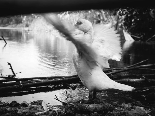 Hey! what are you looking at? I'm bathing dude! Avian Beauty In Nature Blackandwhite Close-up Day EyeEm EyeEm Pampanga Eyeem Philippines Feather  Focus On Foreground Lake Lakeshore Nature No People Outdoors Plant Selective Focus ShootTheDay Tranquility Water White