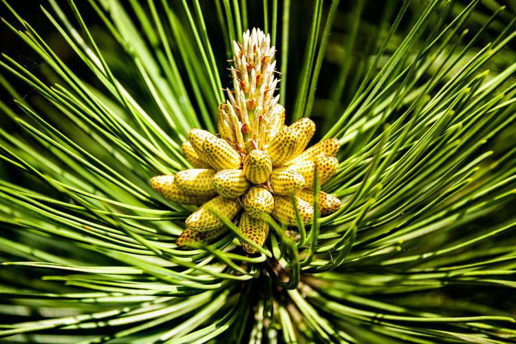 Flowering Pine Cones Beauty In Nature Close-up Coniferous Tree Day Flower Green Color Growth Nature Needle - Plant Part No People Outdoors Pine Cone Pine Tree Plant Selective Focus Tranquility Tree EyeEmNewHere