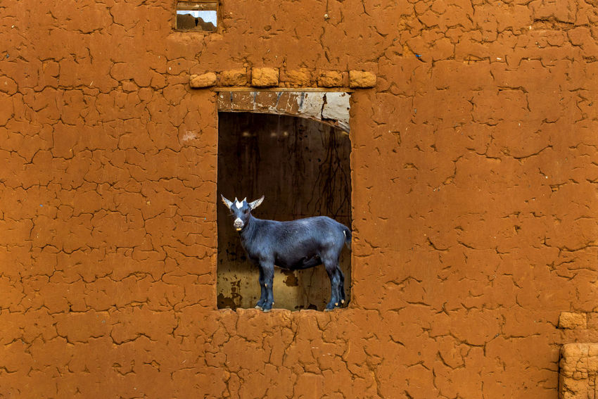 Africa Animal Themes Brown Congo Day Documentary Full Frame Geometry Goat Journey Photojournalism Reportage Showcase: December Stone Wall Taking Photo Textured  Travel Travel Photography Traveling Travelling Wall My Best Photo 2015