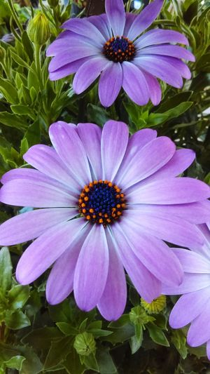Flowers Flowrrs And Plants Flower Flowerporn Flower Collection Flowers,Plants & Garden Flower Porn Flowers, Nature And Beauty Purple Purple Flower Daisy Daisies Daisy Flower