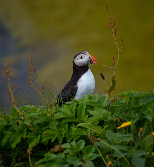 Long before the presence of humans, the Arctic puffin has roamed the Icelandic landscape. Enduring the toughest conditions one could imagine. Animal Animal Themes Vertebrate Bird One Animal Animals In The Wild Animal Wildlife Plant Perching Nature No People Green Color Day Plant Part Leaf Selective Focus Grass Outdoors Land Looking Away Nature Nature Photography Birds Puffin Bird Photography