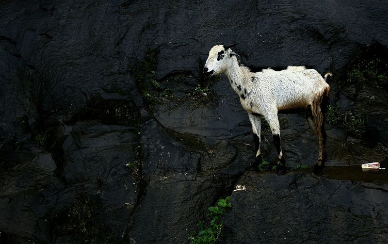 Mountain Goat Mountain Goat Trimbakeshwar Rain Mountain_goat Nashik Hills Wet Leaves Rock Pet Portraits
