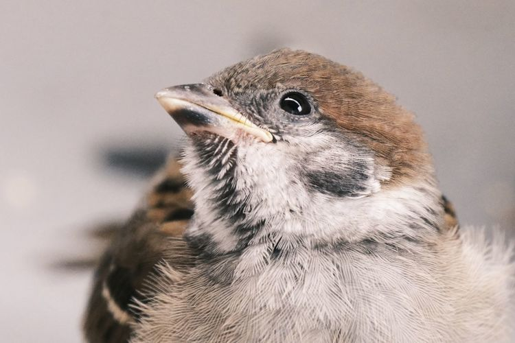 Close-up of a bird against gray background