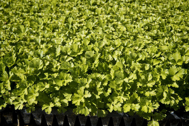 Cilantro farming Agriculture Backgrounds Cilantro Garnish Close-up Crop  Farming Food Green Color Growth Horizontal Composition Leaves🌿 Nature No People Outdoors Plants 🌱 Summertime