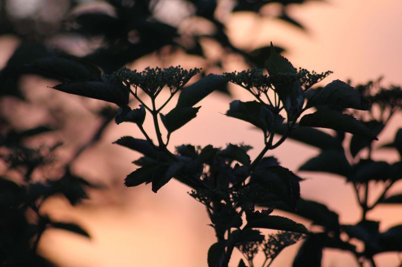 Golden silhouette Plant Growth Nature Close-up Beauty In Nature No People Tree Plant Part Focus On Foreground Sky Flower Leaf Flowering Plant Branch Outdoors Tranquility Vulnerability  Day Freshness Selective Focus