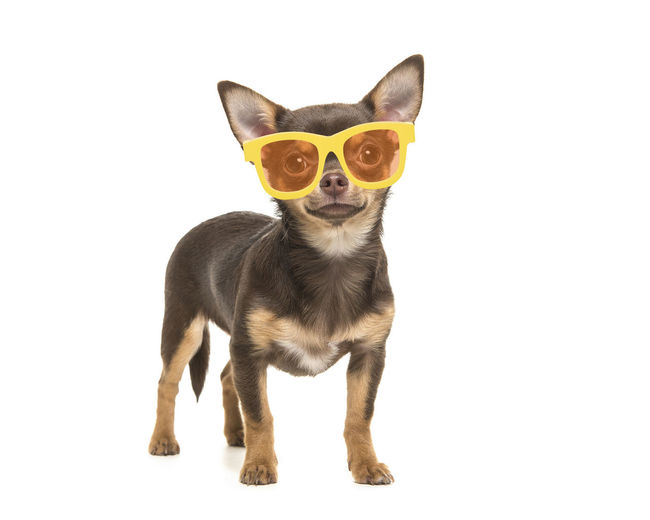 Pretty brown chihuahua dog standing wearing yellow sunglasses on a white background Chihuahua Dog Glasses Cute Dog  Animal Themes Animal One Animal Pets Studio Shot White Background Looking At Camera Canine Cut Out Full Length Chihuahua - Dog Summer Glasses