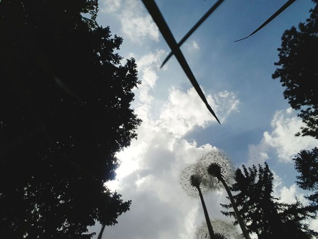 Sky Chicory çiçek Doğa Nature NİSAN Yeşil Doğa Ağaçlar ♥♡♥ Gökyüzü❄⛄🎑 Gok Bahar çiçekleri Tree Silhouette Sky Cloud - Sky