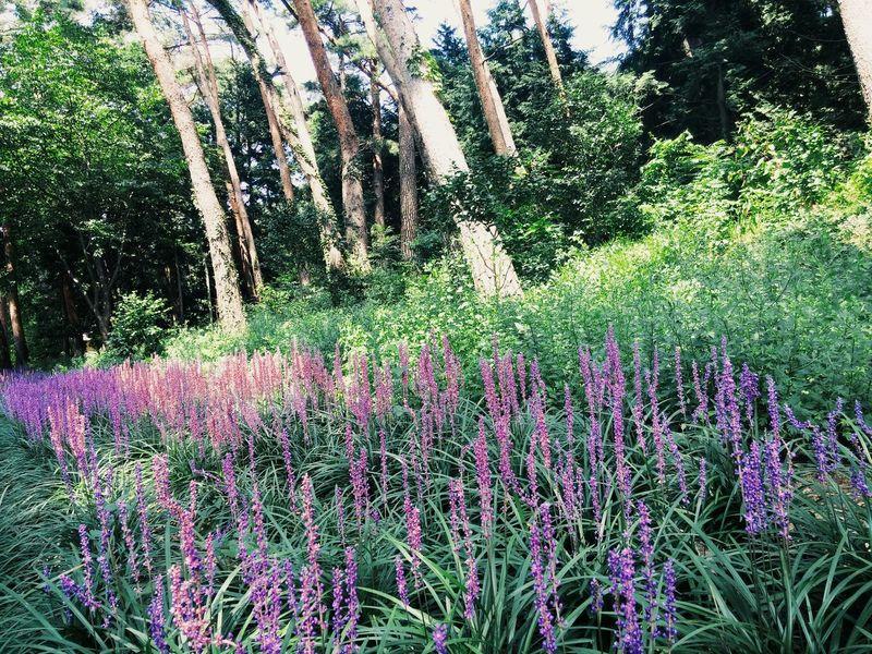 노구당 Haenam taken behind a korean famous landmark. Small purple flowers among thr tall pine trees