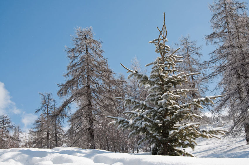 Christmas Christmas Tree Cold Cold Temerature Frozen Holiday Landscape Mountain Nature Outdoors Season  Ski Skiing Snow Snow Capped Snowboarding Tree Tree Trunk Winter Winter