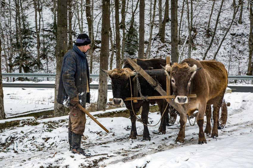 Adult Agriculture Cleaning Cold Temperature Day Domestic Animals Farm Farmer Field Full Length Livestock Mammal Men Nature One Man Only One Person Outdoors Oxen People Real People Rural Scene Snow Tree Warm Clothing Winter