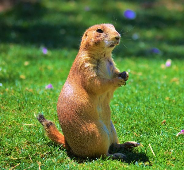 Prairie Dog posing Animals In The Wild Field Focus On Foreground Grass Green Color Nature One Animal Outdoor Life Outdoor Photography Outdoors Outdoors Photograpghy  Prairie Dogs Small Animal