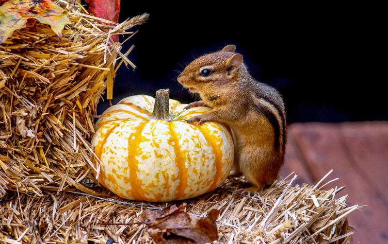 Close-up of pumpkin eating food
