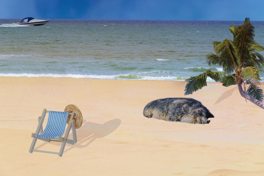 Sandy beach, deckchair with straw hat and a pig. Concept, lounging on the beach Animal Animal Themes Beach Beauty In Nature Horizon Horizon Over Water Land Mammal Motion Nature No People One Animal Relaxation Sand Scenics - Nature Sea Sky Tranquil Scene Water