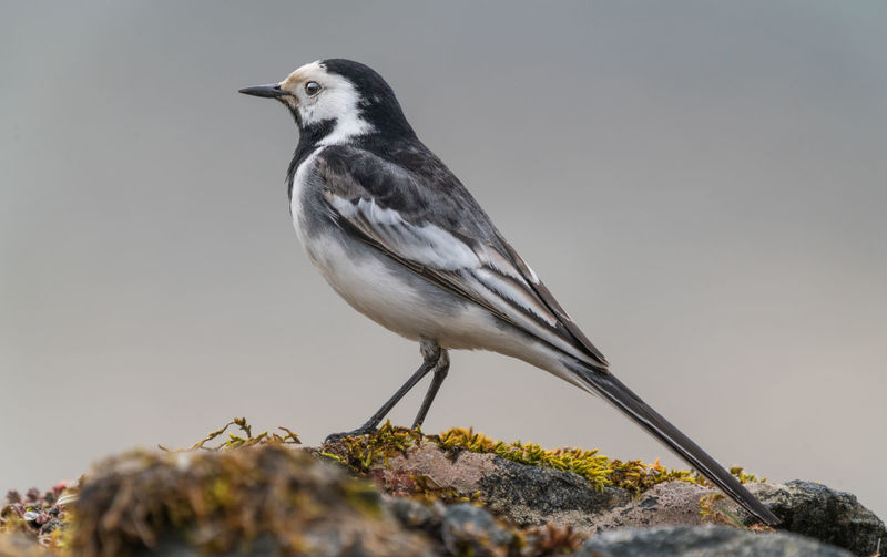 Pied wagtail Bird One Animal Animal Animals In The Wild Day Close-up No People Nature Full Length Rock Side View Outdoors Looking Pied Wagtail