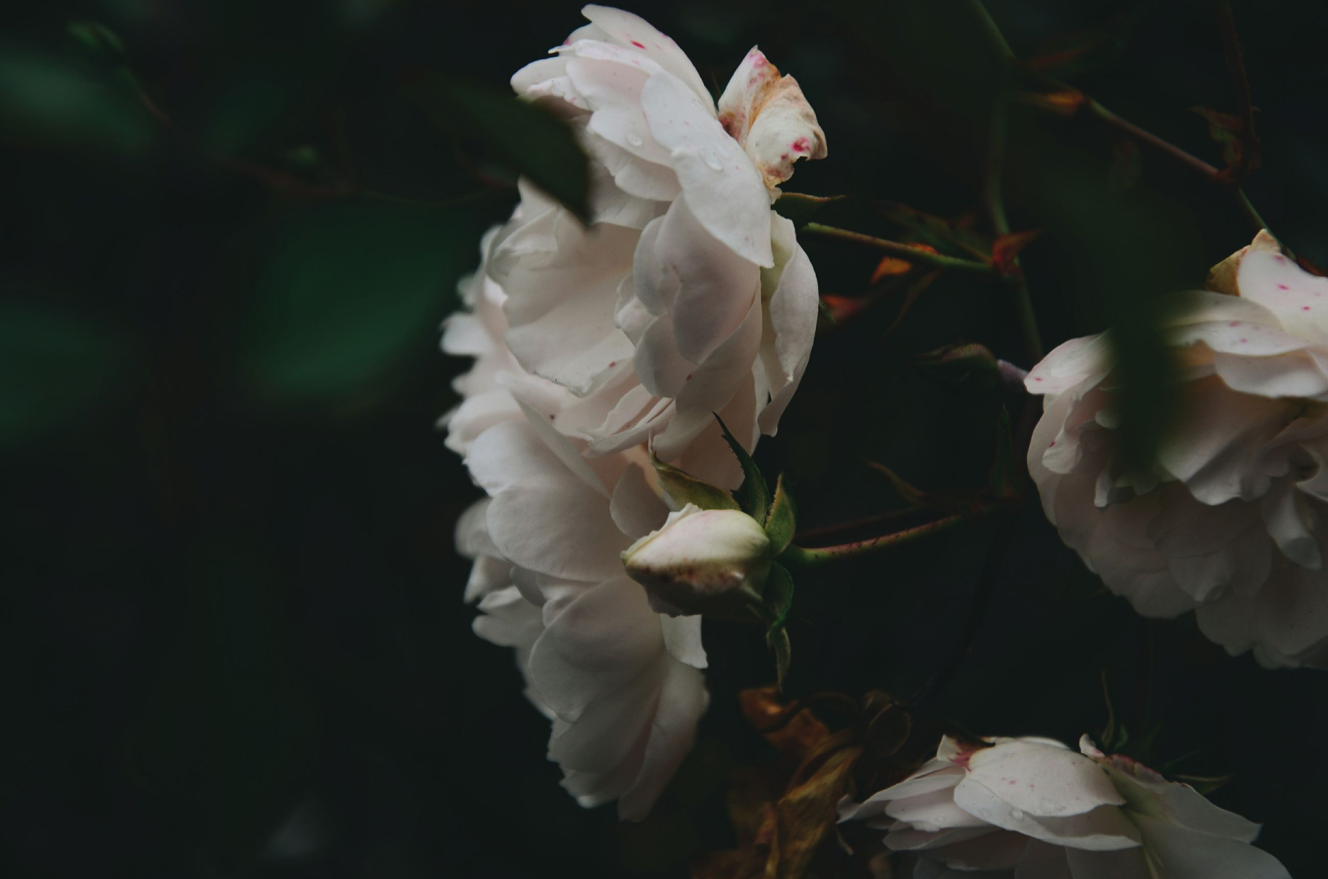 flower, petal, fragility, freshness, flower head, white color, growth, beauty in nature, close-up, nature, blooming, focus on foreground, plant, in bloom, leaf, white, blossom, stem, bud, outdoors