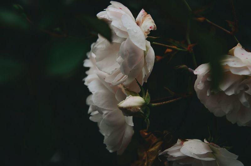 I Love Roses!